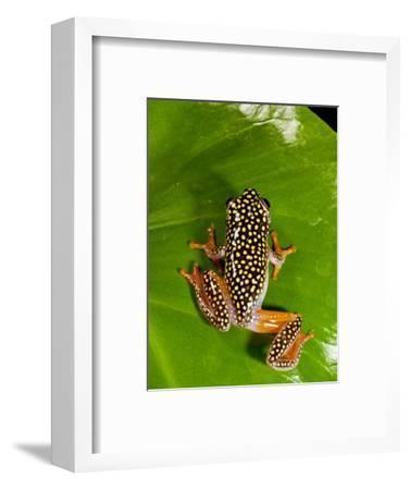 Starry Night Reed Frog, Heterixalus Alboguttatus, Native to Madagascar