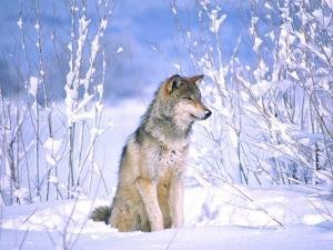 Timber Wolf Sitting in the Snow, Utah, USA by David Northcott