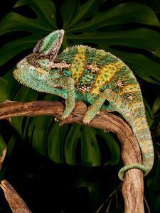 Veiled Chameleon, Chamaeleo Calyptratus, Native to Yemen by David Northcott