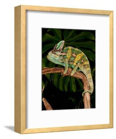 Veiled Chameleon, Chamaeleo Calyptratus, Native to Yemen