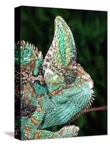 Veiled Chameleon, Native to Yemen by David Northcott