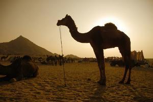 Annual Pushkar Camel Festival, Rajasthan, Pushkar, India by David Noyes