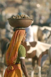 Collecting Camel Dung for Cooking Fires, Pushkar Camel Festival, Rajasthan, India by David Noyes