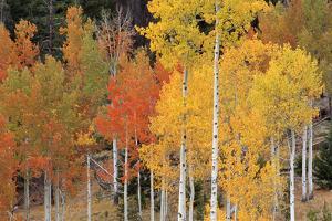 Autumn Aspen Trees by David Nunuk