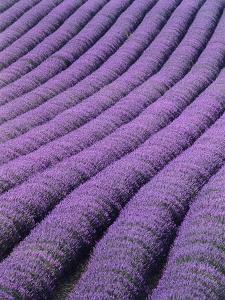 Field of Lavender by David Nunuk