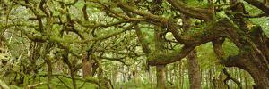 Moss-covered Trees by David Nunuk