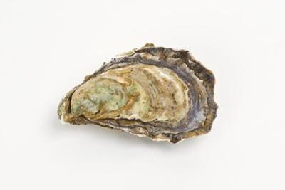 Pacific Oyster by David Nunuk