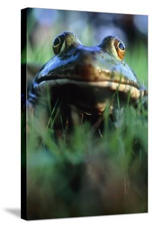 The North American Bullfrog, Rana Catesbeiana