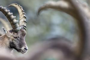 Alpine Ibex (Capra Ibex), Portrait Of Young Male. Alps, Aosta Valley by David Pattyn