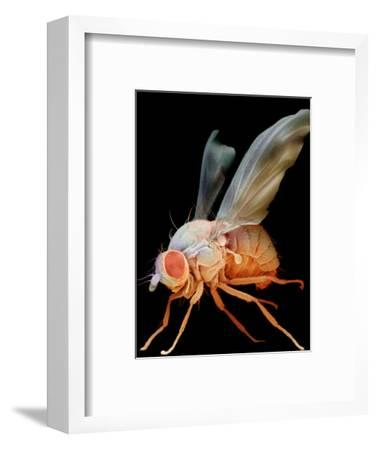 Fruit Fly, Drosophila Melanogaster, an Important Laboratory Organism in Genetics
