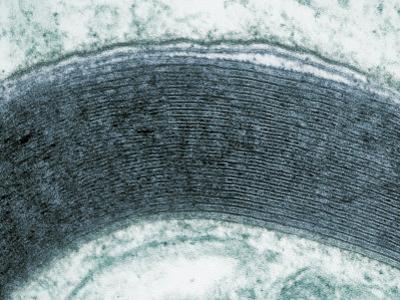Myelin Sheath around the Axon of a Neuron. Tem by David Phillips