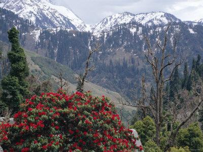 Rhododendrons in Bloom, Dhaula Dhar Range of the Western Himalayas, Himachal Pradesh, India