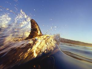 Dolphin Swimming in Ocean by David Pu'u