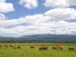 Cattle Graze in a Pasture Near Cascade, Idaho, Usa by David R^ Frazier