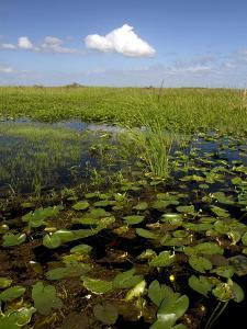 Water Lilies and Sawgrass in the Florida Everglades, Florida, USA by David R^ Frazier