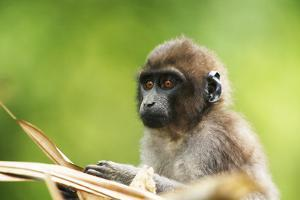 Asia, Indonesia, Sulawesi, Buton Island. Juvenile Buton Macaque by David Slater