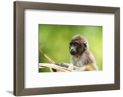 Asia, Indonesia, Sulawesi, Buton Island. Juvenile Buton Macaque