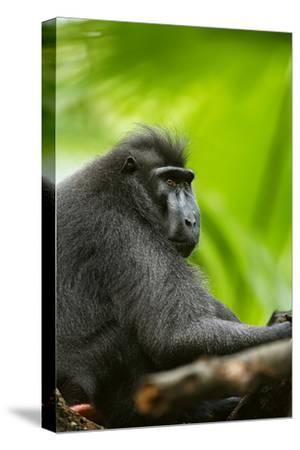 Asia, Indonesia, Sulawesi. Crested Black Macaque Adult in Rainforest