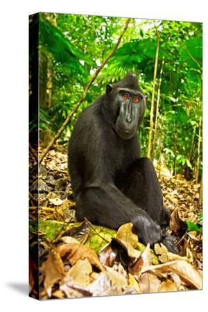 Asia, Indonesia, Sulawesi. Crested Black Macaque Adult Relaxing in Rainforest