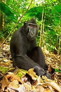 Asia, Indonesia, Sulawesi. Crested Black Macaque Adult Relaxing in Rainforest by David Slater