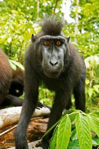 Asia, Indonesia, Sulawesi. Crested Black Macaque Juvenile in Rainforest by David Slater
