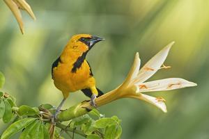 Central America, Yucatan, Mexico. Altamira Oriole in Tabebuia or Caribbean Trumpet Tree by David Slater