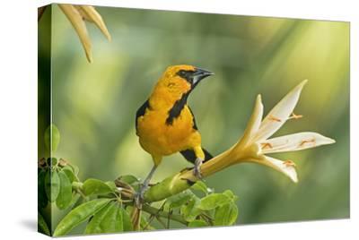 Central America, Yucatan, Mexico. Altamira Oriole in Tabebuia or Caribbean Trumpet Tree