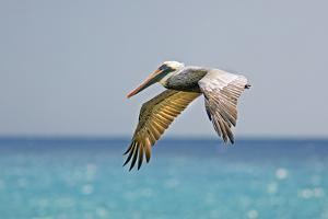Mexico, Caribbean. Male Brown Pelican Flying over the Sea by David Slater
