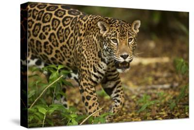 Mexico, Panthera Onca, Jaguar in Forest