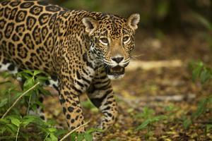 Mexico, Panthera Onca, Jaguar in Forest by David Slater