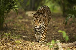Mexico, Panthera Onca, Jaguar Walking in Forest by David Slater