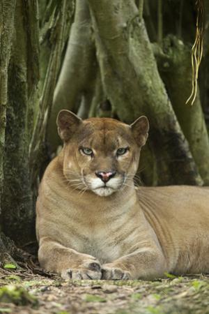 Mexico. Puma Concolor, Puma in Montane Tropical Forest by David Slater