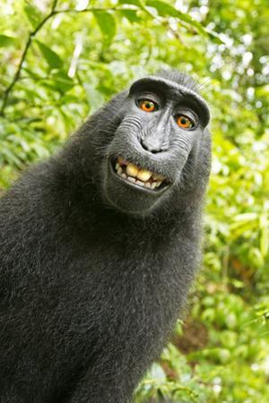 Monkey Selfie by David Slater