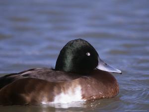 Baers Pochard, Male, Endangered by David Tipling
