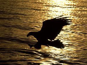 Bald Eagle, Fishing, USA by David Tipling
