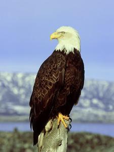 Bald Eagle on Post, USA by David Tipling