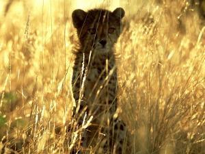 Cheetah, Cub, Namibia by David Tipling