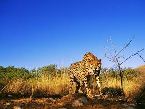 Cheetah, Snarling at Camera, South Africa by David Tipling