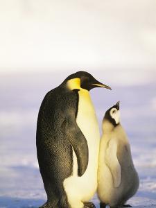 Emperor Penguin, Weddell Sea, Antarctica by David Tipling
