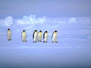 Emperor Penguins (Aptenodytes Forsteri) Crossing Ice, Weddell Sea, Antarctica by David Tipling