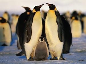 Emperor Penguins with Chick, Dawson-Lambton Glacier, Weddell Sea, Antarctica by David Tipling