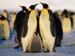 Emperor Penguins with Chick, Dawson-Lambton Glacier, Weddell Sea, Antarctica by David Tipling