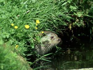 European Otter, Suffolk by David Tipling