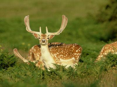 Fallow Deer, Buck in Velvet, UK