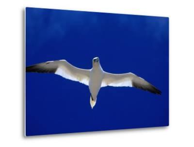 Gannet (Sula Bassana) Flying, Ireland