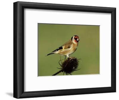 Goldfinch on Teasel, UK