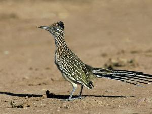 Greater Roadrunner, New Mexico by David Tipling