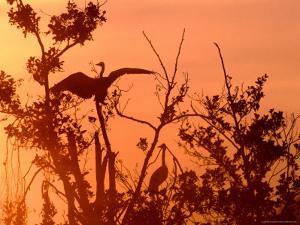 Grey Herons in Tree at Dawn, United Kingdom by David Tipling