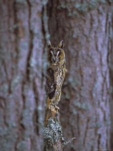 Long Eared Owl (Asio Otus) in Winter, Scotland, UK, Europe by David Tipling