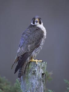 Peregrine Falcon (Falco Peregrinus), Scotland, UK, Europe by David Tipling